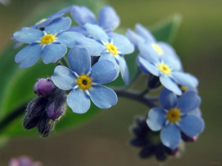 Forget-Me-Not by Flickr User dawnzy58, CC License = Attribution, Noncommercial, No Derivative Works