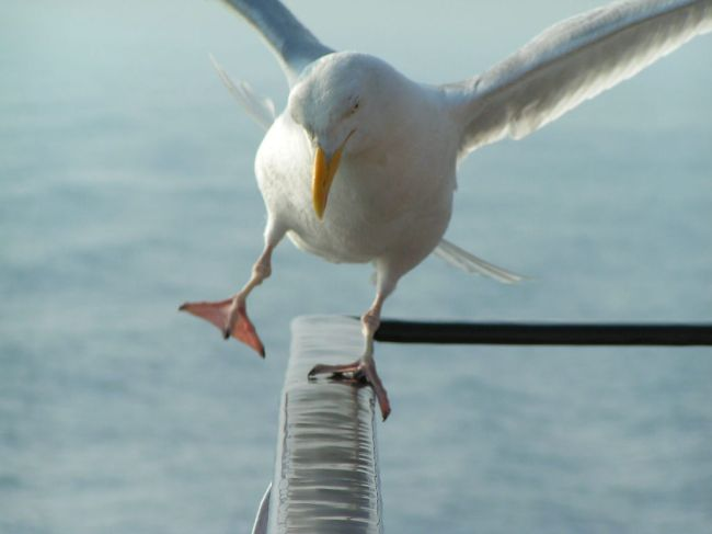 Seagull Out of Balance by Flickr User Erwin Fisser, CC License = Attribution, Noncommercial, Share Alike