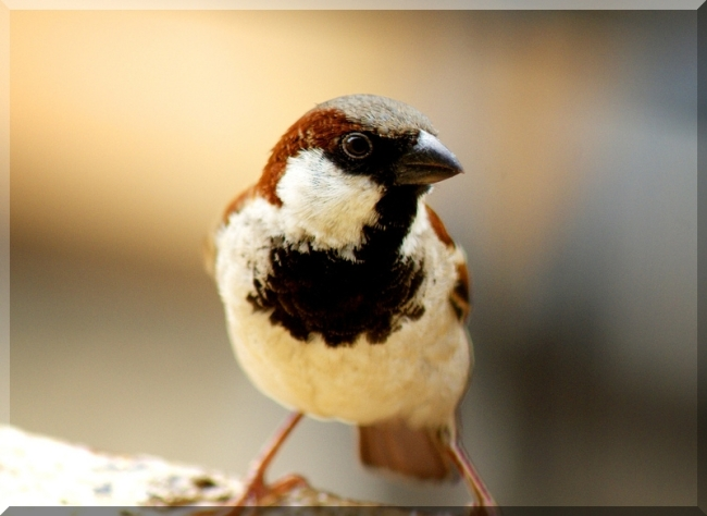 Sparrow by Flickr User Abhilash Kumar aka Hitched Hiker, CC License = Attribution, Noncommercial, Share Alike