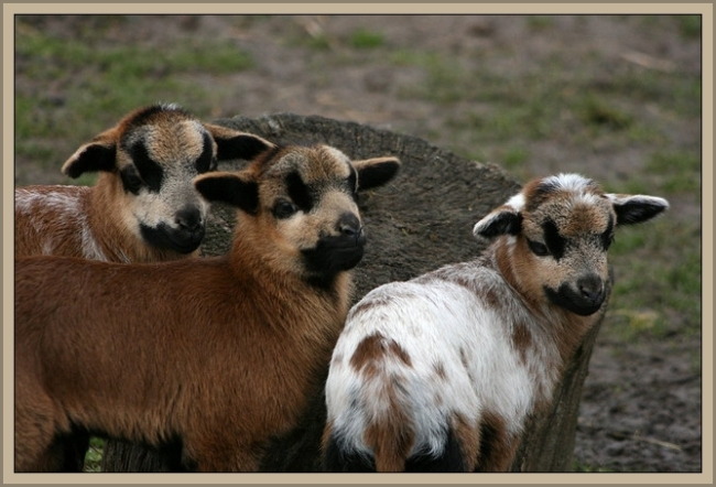 Spotted Lambs by Flickr User Eva Mayer aka Eva Ganesha, CC License = Attribution, Noncommercial