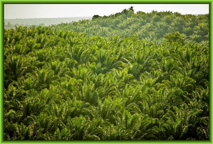 Palm Oil Plantation by Flickr User Rainforest Action Network, CC License = Attribution, Noncommercial
