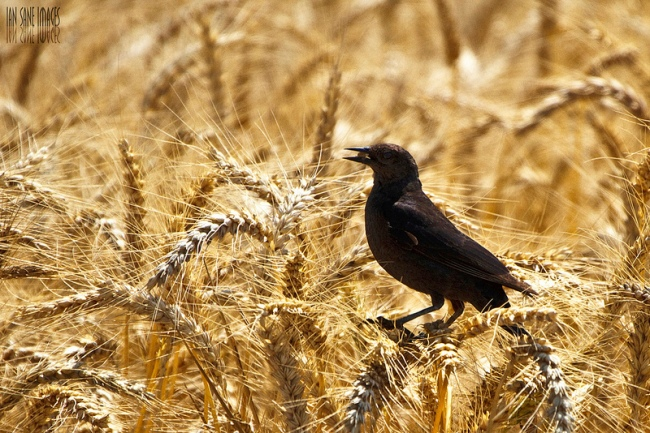 Early Harvest by Flickr User Ian Sane, CC License = Attribution