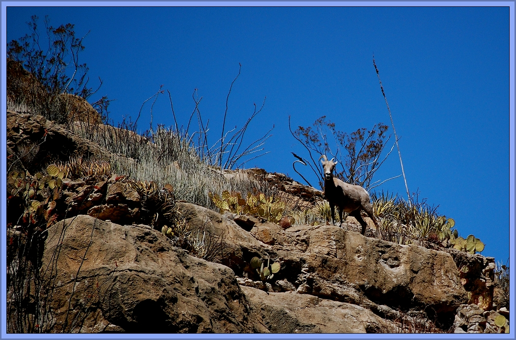 Goat on Desert Mountain by Flickr User S. F. Pitman, CC License = Attribution, Noncommercial, Share Alike