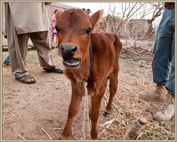 Red Heifer Calf by Flickr User Peretz Partensky, CC License = Attribution, Share Alike