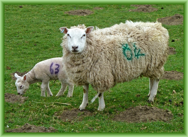 Counting Sheep by Flickr User Tim Green, CC License = Attribution