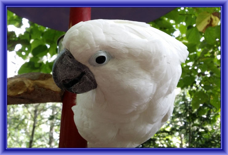 Cute Cockatoo at Parrot Mountain by Crystal A Murray, CC License = Attribution, Noncommercial, Share Alike