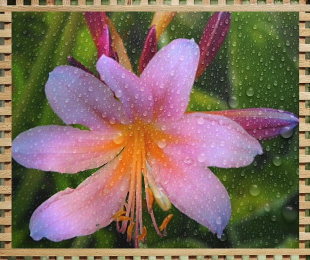 Naked Lady Flower with KVAD Edits and & Bamboo Frame--Sm 4 WP
